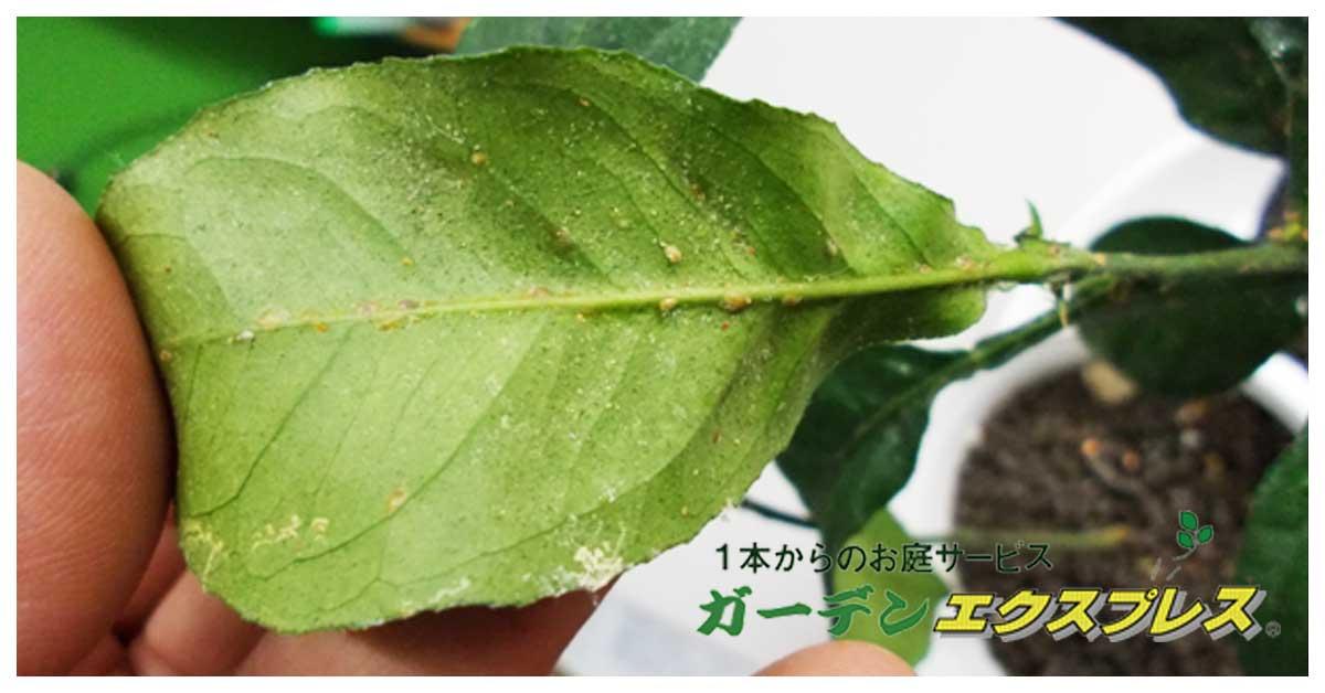 ハダニ・カイガラムシ退治法 観葉植物のお手入れ