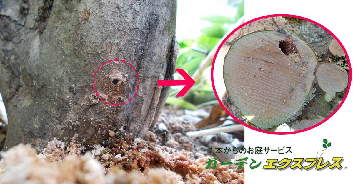 幹から木くずが・・テッポウムシの被害と対策