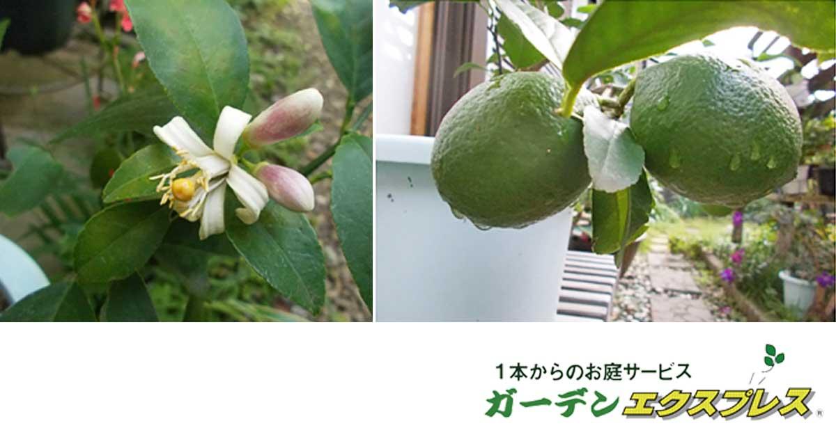 レモンの木を育てました【鉢植え】花から収穫まで